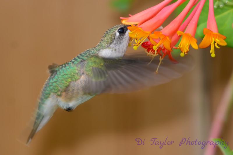 Hummingbird with head inside honeysuckle 2