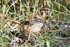 Palm Warbler 4 Sep 16 2020
