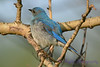 Mountain Bluebird Juvenile 3  8 July 2017