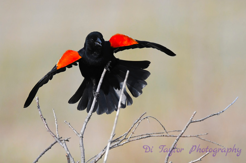 Red Winged Blackbird male 2 18 May 2019