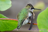 Young Hummingbird on vine
