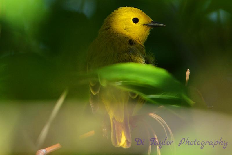 Warbler in tree 3