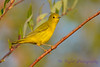 Yellow Warbler Sept 2 2017