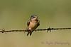 Barn Swallow Aug 25 2017