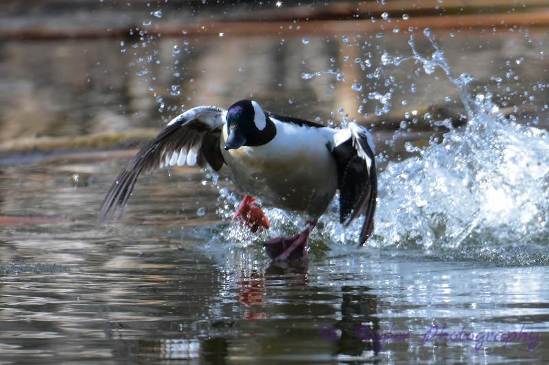 Buffle headed male duck taking flight
