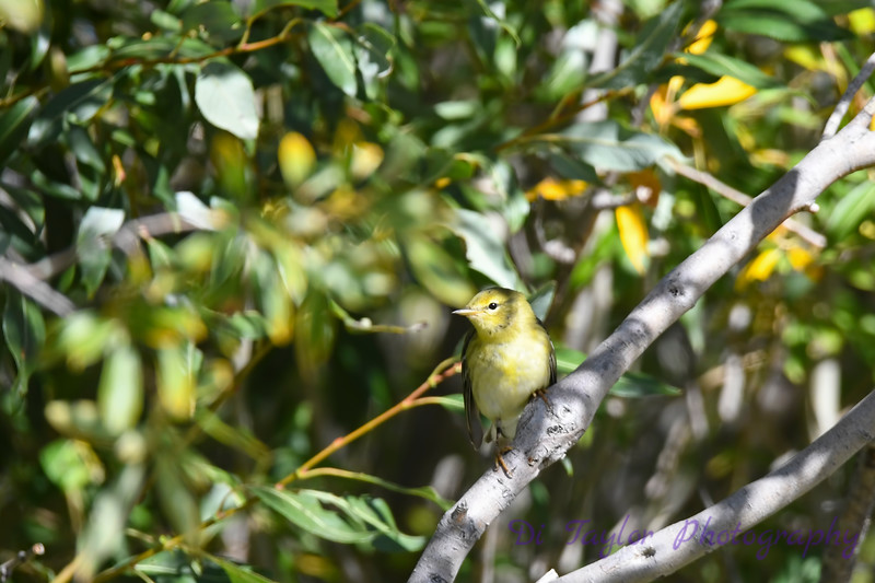 Blackpoll Warbler 2 Sep 11 2020