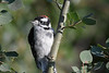 Downy Woodpecker July 29 2018