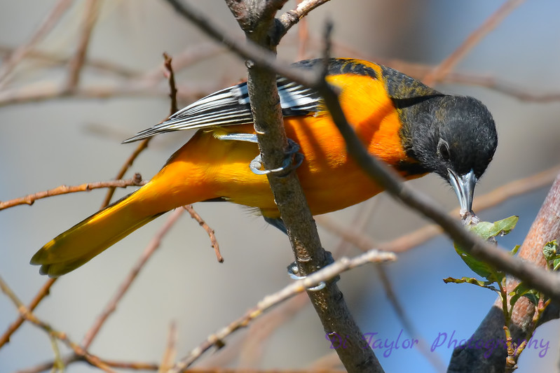 Baltimore Oriole male 4  Aug 21 2017