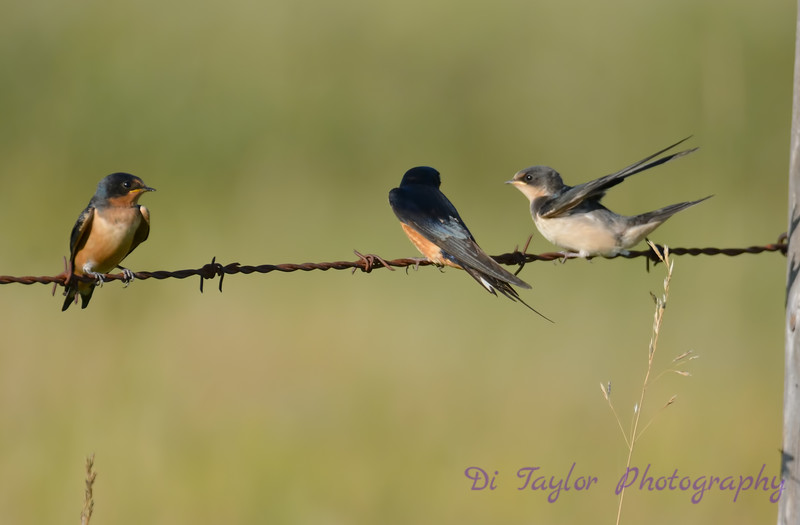 Barn Swallows Aug 25 2017