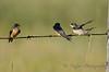Barn Swallows Aug 25 2017
