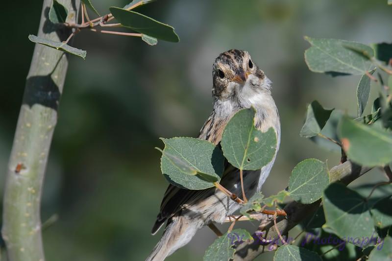 Grasshopper Sparrow 3 July 29 2018