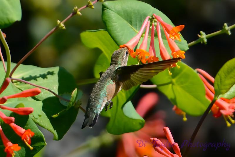 Female Ruby Throated Hummingbird 2015  5
