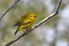 Yellow Warbler male 3 May 31 2020