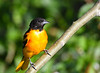 Baltimore Oriole male 2 July 13 2018