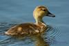 Redhead duckling