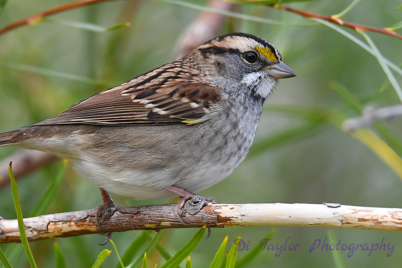 White throated sparrow Sep 9 2018