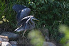Great Blue Heron 11 Aug 2 2020