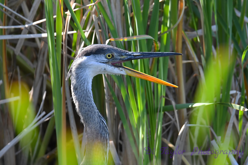 Great Blue Heron close up 3 Aug 2 2020