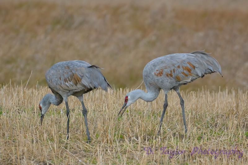 Sandhill Cranes  5  Oct 28 2017