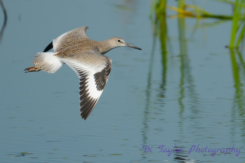 Willet flying 1