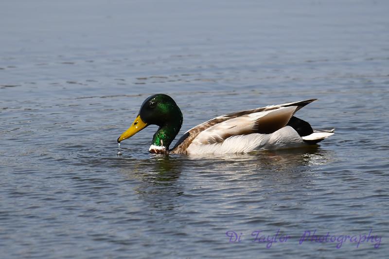 Mallard Duck male 30 May 2019