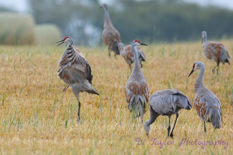 Sandhill Cranes 2  Sep 16 2017