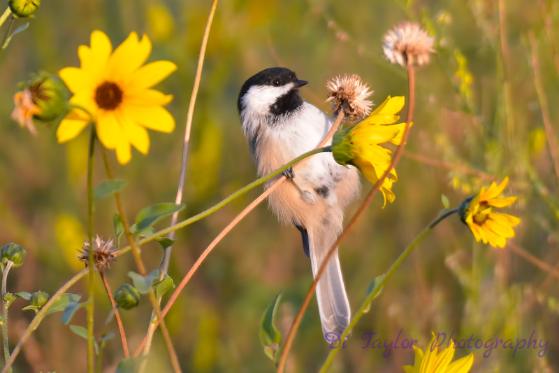 Chickadee in Wildflowers 14 Aug 2017