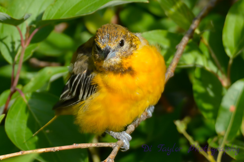 Baltimore Oriole juvenile 3  24 Jul 2017