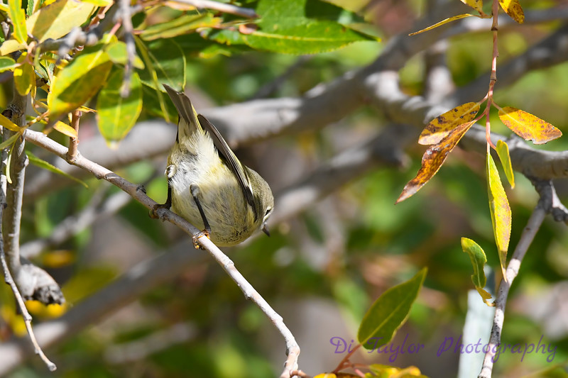 Ruby Crowned Kinglet 4 Sep 21 2020