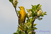 Yellow Warbler in blooming tree