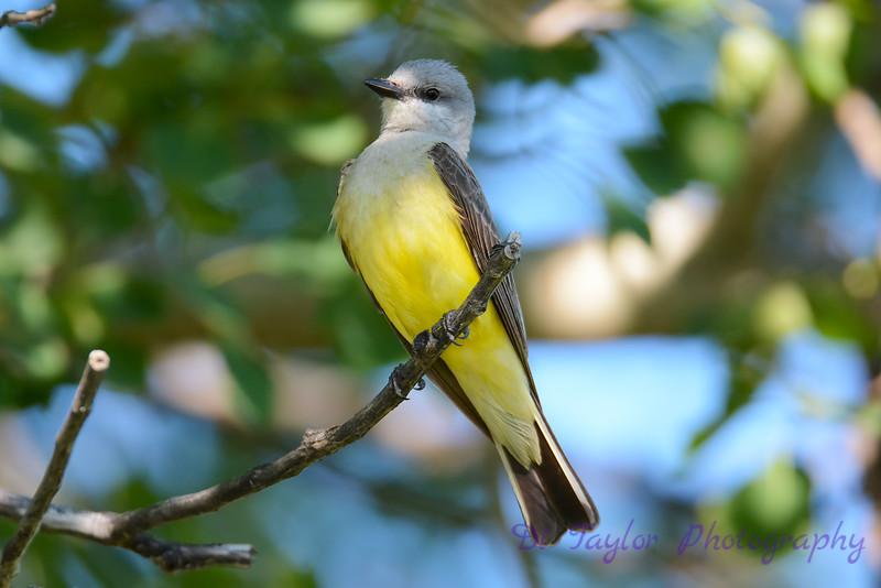 Western Kingbird 7