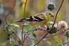 American Goldfinch juvenile 3  Sep 15 2018