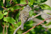 Least Flycatcher 8