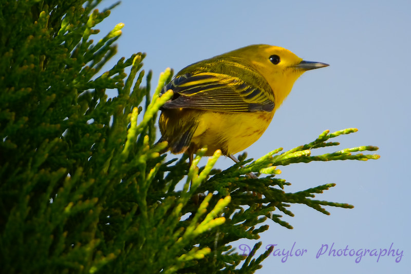 Yellow warbler in cedar 3