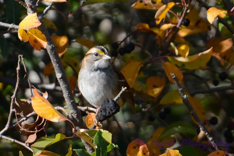 White-Throated Sparrow 8