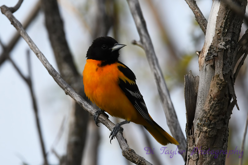 Baltimore Oriole male 2 May 31 2020