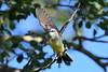 Western Kingbird taking flight 27 Jul 2019