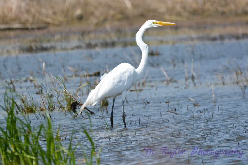 Great Egret 14 Jul 2017