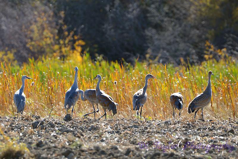 Sandhill cranes in grass