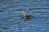 Horned Grebe baby 2 July 2 2018