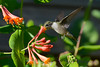 Female Ruby Throated Hummingbird 2015 8