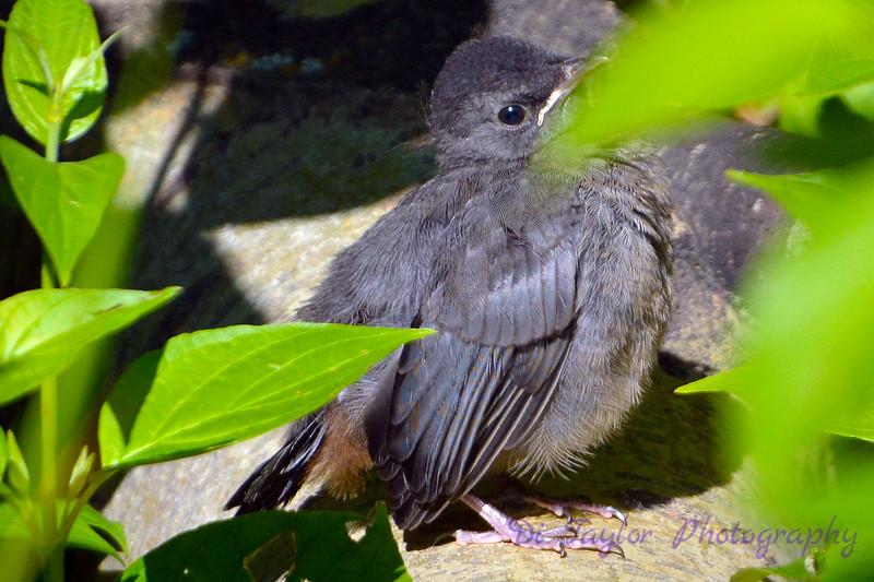 Possibly a gray catbird baby