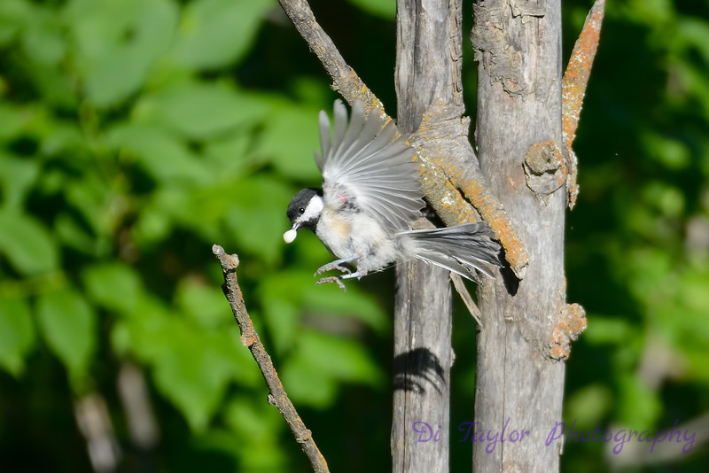 Chickadee with caterpillar crysallis 2