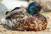 Mallard Duck plumage
