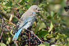 Mountain Bluebird young female 3  Aug 22 2017