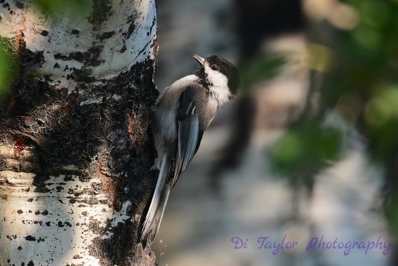 Chickadee on side of tree