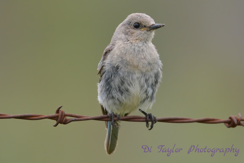 Mountain Bluebird baby 22 Jul 2017