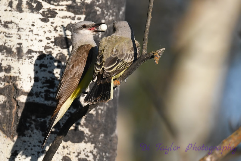 Western Kingbird female feeding juvenile Aug 5 2020