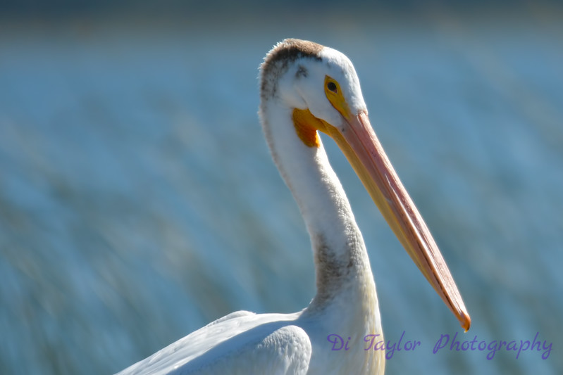 American White Pelican closeup Aug 26 2017