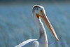 American White Pelican closeup Aug 26 2017